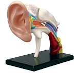 4D Human Anatomy Ear Model